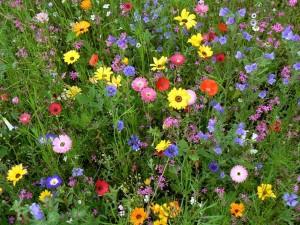 Die Blumenwiese als Beispiel für Biodiversität